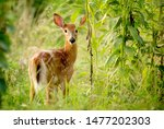 Young Whitetail Deer Fawn In...