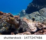 Yellowtail Damselfish Or...