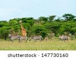 Wild Giraffes And Zebras In Th...