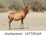 Red Hartebeest   Wildlife From...