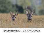 Two Western Roe Deer In A Grai...