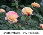 Roses Garden Flowering. Pink...