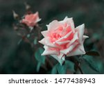 Stock photo pink rose flower bloom in a roses garden 1477438943