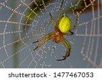 Cucumber Green Spider In Net...