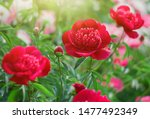 Red Peony Flower Blooming On...