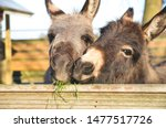 2 Miniature Donkeys Cuddling...