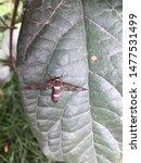 Glass winged Insect,bug.Kathmandu Nepal,July 23/2019.