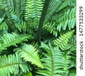 Small photo of Nephrolepis cordifolia, sword fern, fishbone a leaves is a sunny fern