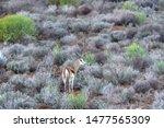 Springbuck  Antidorcas...