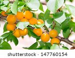 Apricots Ripen On The Tree.