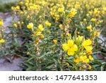 Closeup Of Yellow Blooming...