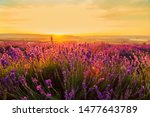 Lavender Field At Sunset. Grea...