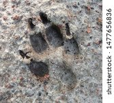 Stock photo macro photo of an animal paw footprint image of dog paw footprint with claw paw footprint in the 1477656836