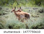 Pronghorn Fawns Standing In...