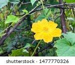 yellow flower in garden... | Shutterstock . vector #1477770326