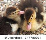 Ducklings Whispering Secrets