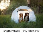 Two Travel Dogs Together In A...
