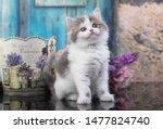 Stock photo scottish fold kitten and flowers 1477824740