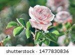 Stock photo flower pink rose flower bloom in a roses garden 1477830836