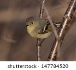 A male Ruby-crowned Kinglet (Regulus calendula) looking back.  Shot in southern Ontario, Canada.