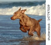 Stock photo a purebred weimaraner playing jumping and swimming at sardinia bay eastern cape south africa 147797039