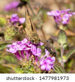 Skipper Butterfly Pollinating...