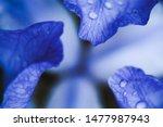 Purple Iris With Droplets ...