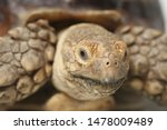 Stock photo african spurred tortoise also know as african spur thigh tortoise geochelone sulcata isolated on 1478009489