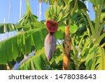 Banana Flower. Banana Blossom...