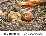 Small photo of Small Covey Button Quails Birds Resting