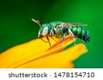 Image of cuckoo wasp ...