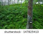 Latex Rubber Tree Plantation I...