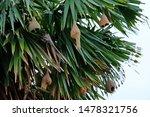 asian golden weaver's nests...   Shutterstock . vector #1478321756