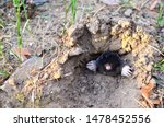 Small photo of Animal Mole crawling out of molehill above ground, showing strong front feet used for digging runs underground. Mole trapping - youngs pest control. Underground creatures damage lawn.