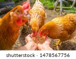 Hens Eating From Hands  Pov...