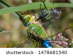 Stock photo a close up of an emperor dragonfly anax imperator settled amongst grass eating a smaller 1478681540