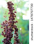 flowers of the broomrape... | Shutterstock . vector #1478707730