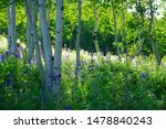 Group Of Aspen Trees With...
