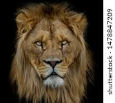Portrait Of An Adult Lion On...