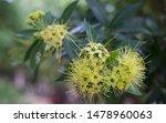 The Golden Penda Flower In  The ...
