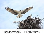 An Adult Osprey Lands On It's...