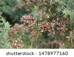 Ulex Or Common Gorse On A Heath ...