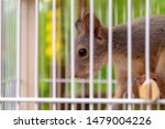 Little Squirrel In Cage Behind...