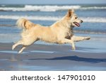 Stock photo happy dog leaping on the beach 147901010