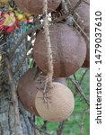 Cannon Ball Tree Or Couroupita...