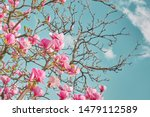 Magnolia Tree Blooms In Large...