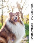 Relaxed Rough Collie Portrait ...