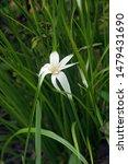 Star Grass  Rhynchospora...