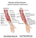 forearm muscles dorsal... | Shutterstock . vector #147943910
