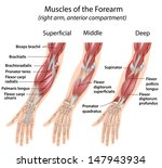 forearm flexor muscles  labeled  | Shutterstock . vector #147943934